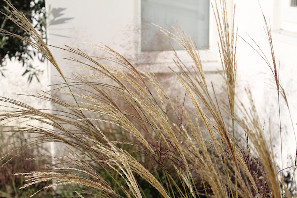 Pennisetum in the garden